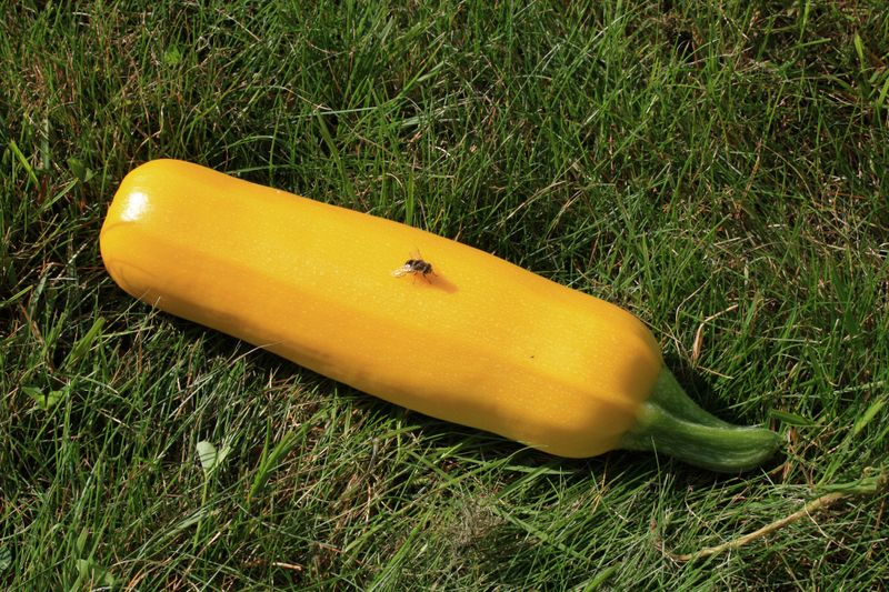 090809summersquash-1178